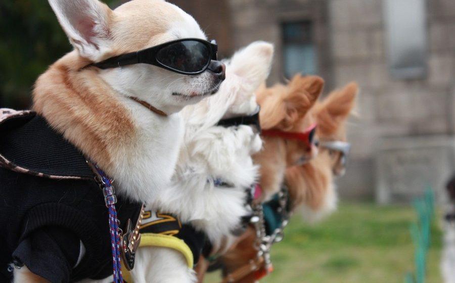 По центру Гродно в поддержку безпризорных животных пройдут собаки в свадебных нарядах
