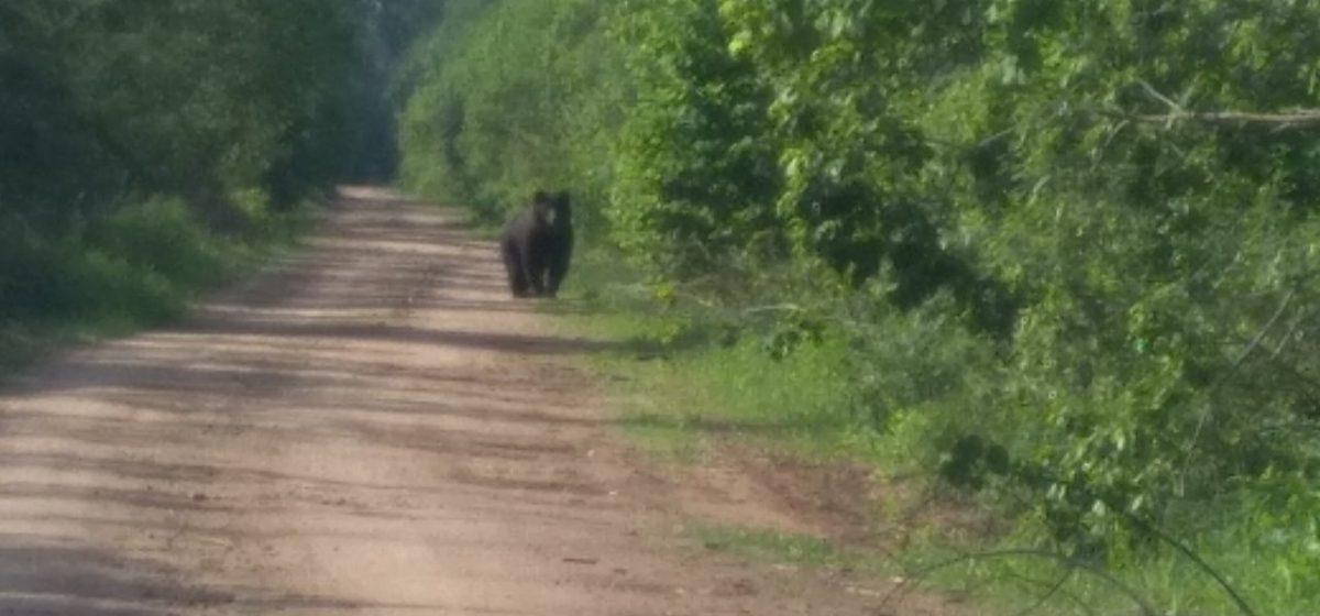 Под Витебском мужчина встретился на дороге с медведем