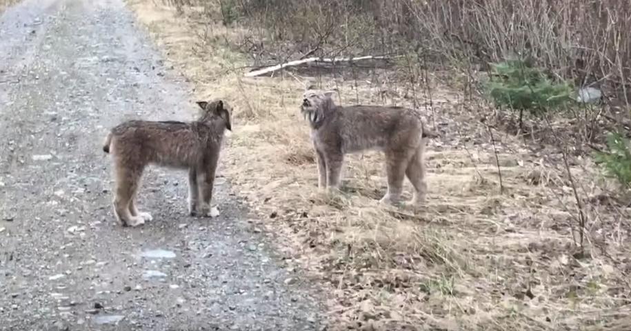Видеофакт. Две дикие рыси кричат друг на друга человеческими голосами
