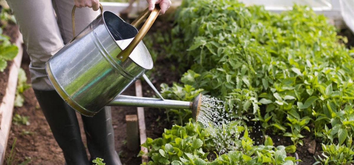 Специалисты рассказали, как дачникам спасти урожай в сухую жаркую погоду
