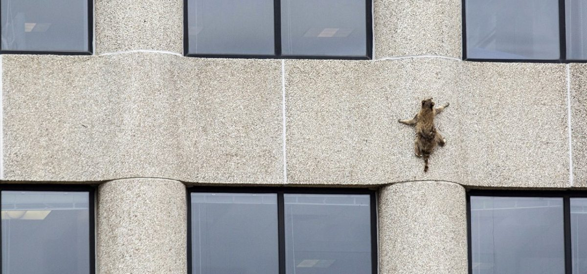 В США енот забрался по стене на крышу небоскреба. За ним следил весь мир (видео)