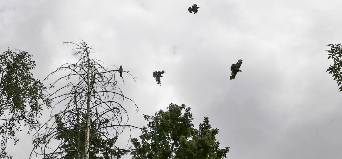 Жители дома в Барановичах страдают от крика птиц. «Шум такой, будто они сидят у тебя в квартире». Как найти управу на грачей?