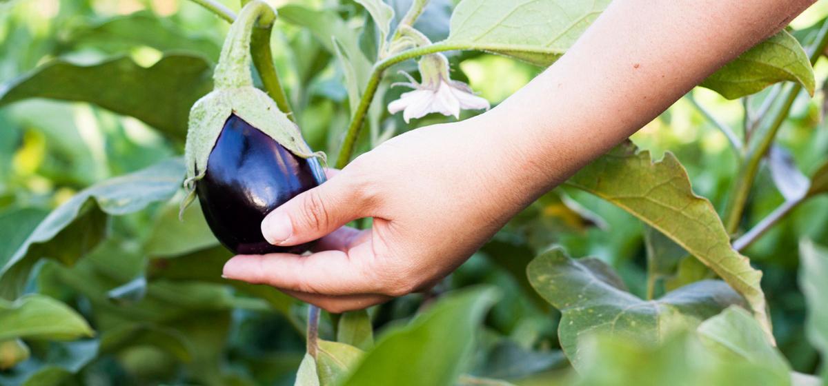 Как спасти баклажаны от вредителей и болезней
