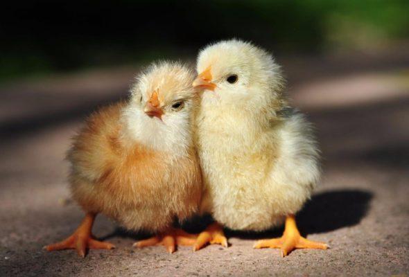Видеофакт. В Грузии из выброшенных на свалку яиц вылупились сотни цыплят
