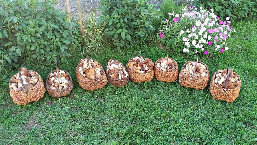 Фотофакт. В Слонимском районе семья собрала 808 белых грибов