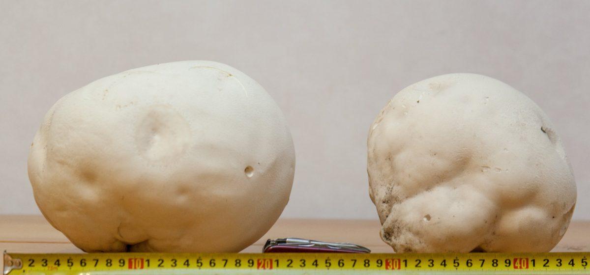 Под Минском нашли килограммовые грибы (фото)