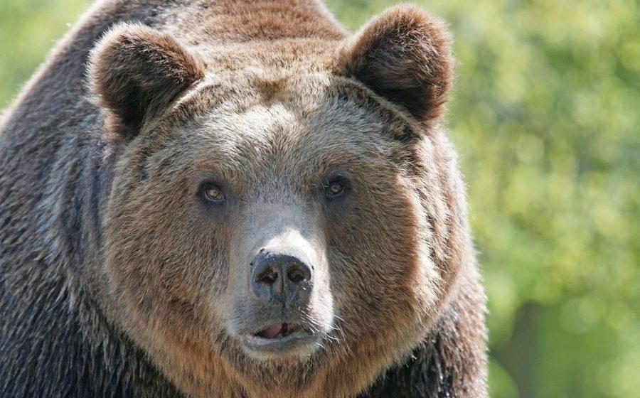 В Ивацевичском районе в лесу поселился бурый медведь
