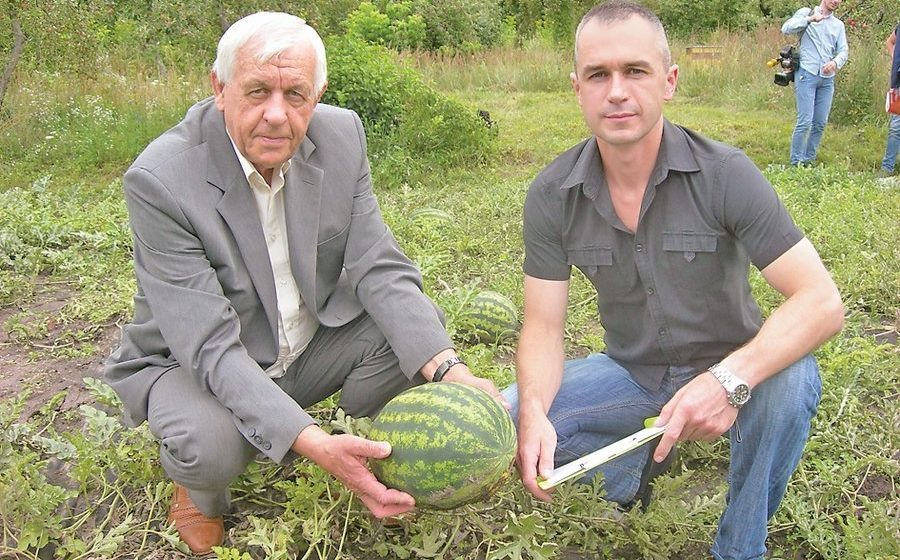 Фотофакт. В Бресткой области арбузы созрели на месяц раньше обычного