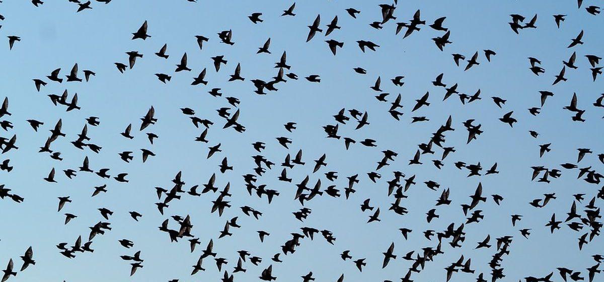 Почему в Барановичах много грачей и мало певчих птиц?