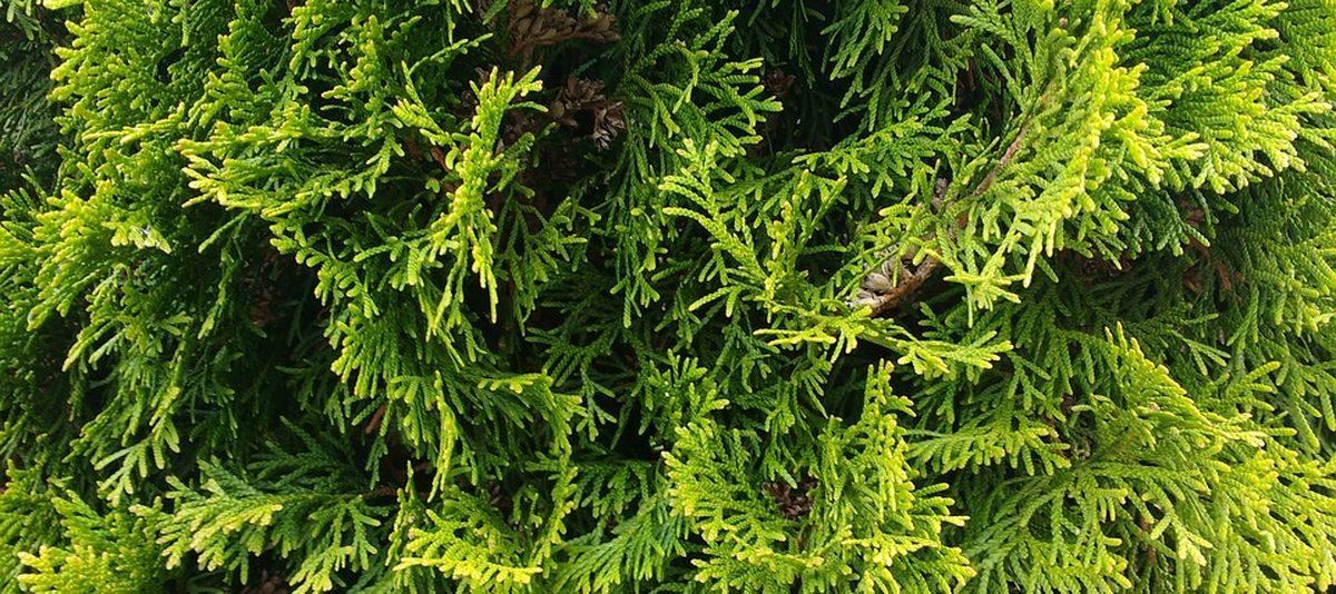 В Барановичах пенсионерка украла туи, голубую ель и мох