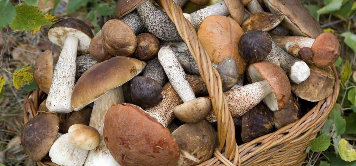 В Беларуси с начала года грибами отравились 26 человек