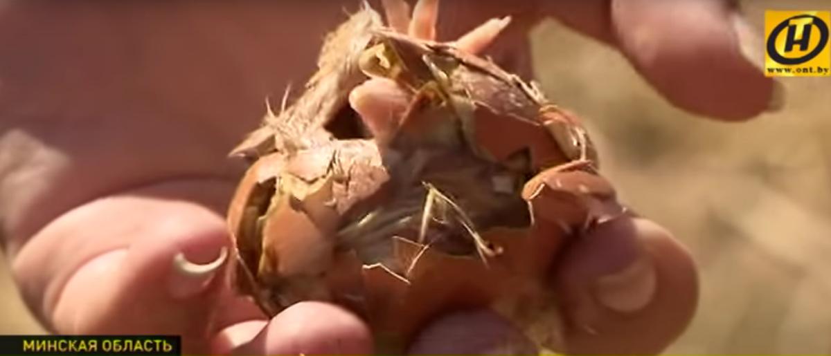 Птицефабрика выбросила под Минском на поле сотни яиц, из которых вылупились цыплята (видео)