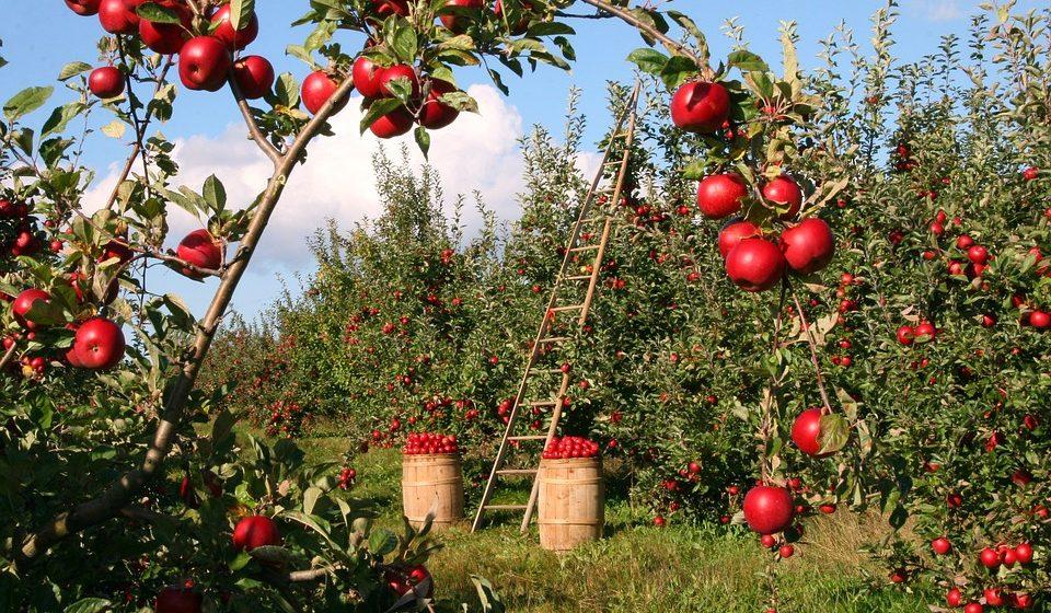 По какой цене в Барановичах принимают яблоки и другие фрукты