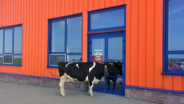 Фотофакт. В Витебске корова гуляла по городу