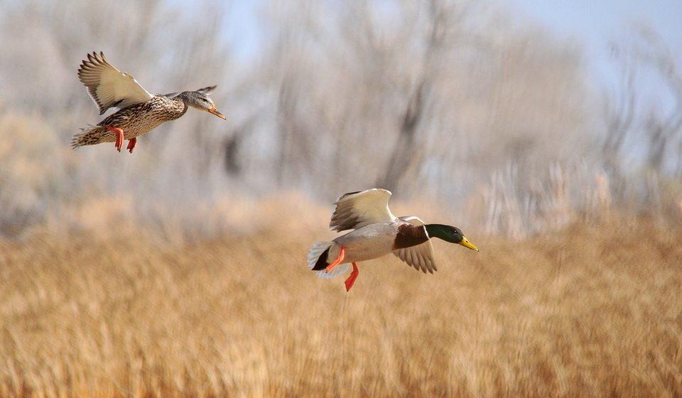 Сезон охоты на водоплавающую и болотную дичь стартовал с 11 августа