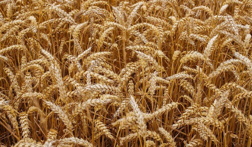В 2018 году намолот зерна в Беларуси будет наихудшим с 2001 года