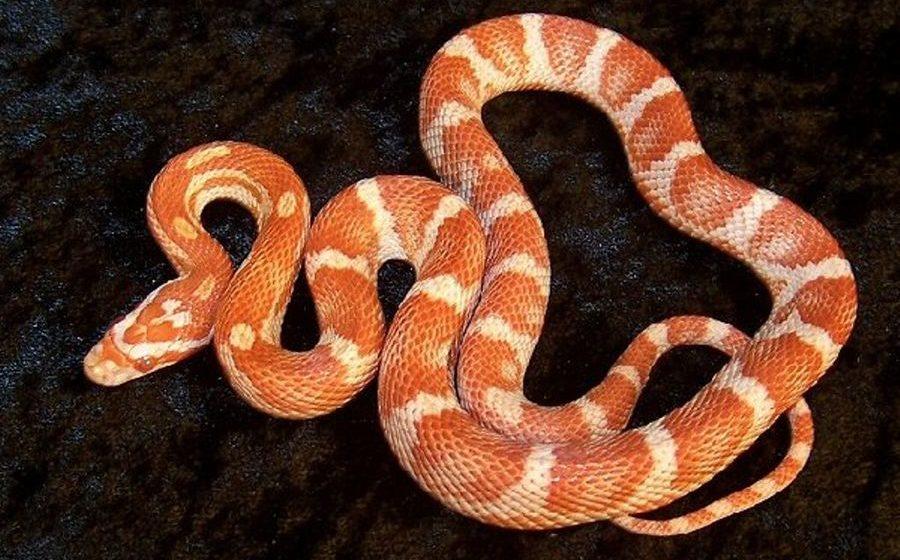 Фотофакт. В минской гостинице поймали экзотическую змею-альбиноса