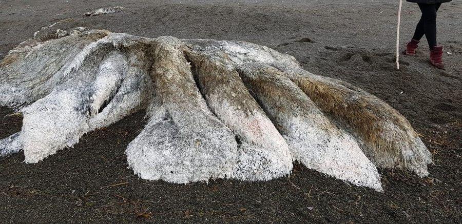 На Камчатке на берег выбросило неизвестного волосатого монстра (видео)