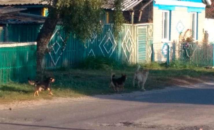 В Чечерске стая бродячих собак напала на 10-летнего мальчика, когда он шел в школу. Ребенок попал в больницу