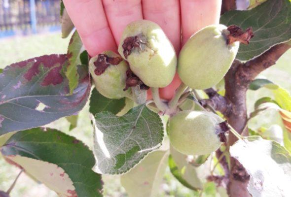 Фотофакт. Под Барановичами в сентябре на яблонях завязались новые плоды