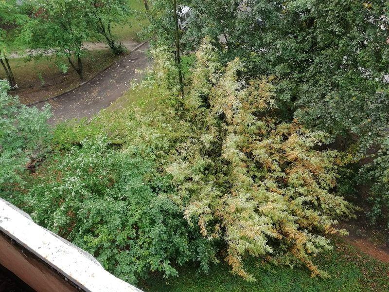 Сильный ветер вырвал с корнем дерево во дворе дома №159 на улице Тельмана. Фото: Алексей ВЕРБИЛО
