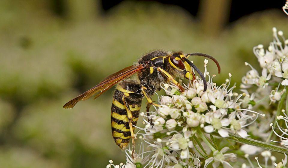 Как избежать укуса осы и что делать, если она все-таки ужалила?