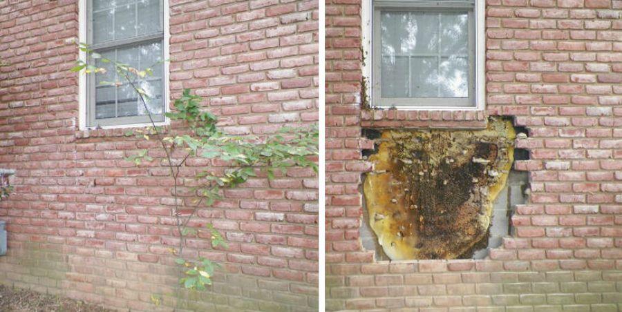 Даже профессиональные пчеловоды в шоке. В США мужчина вскрыл стену жилого дома и обнаружил огромную колонию пчел (фото)