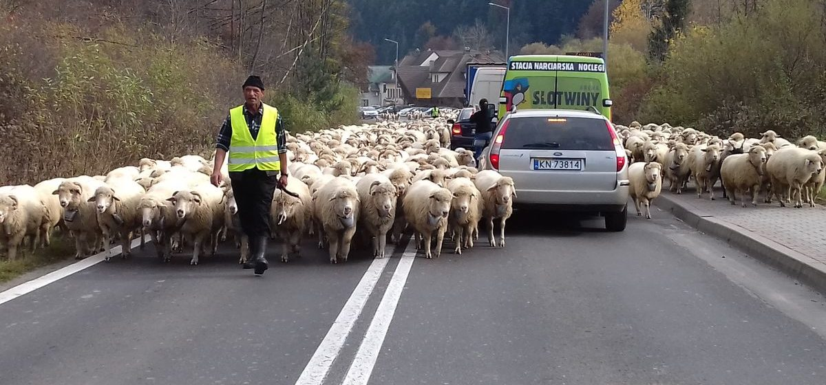 Своими глазами. Сотни овец парализовали автомобильное движение в польских горах Пенины (видео)