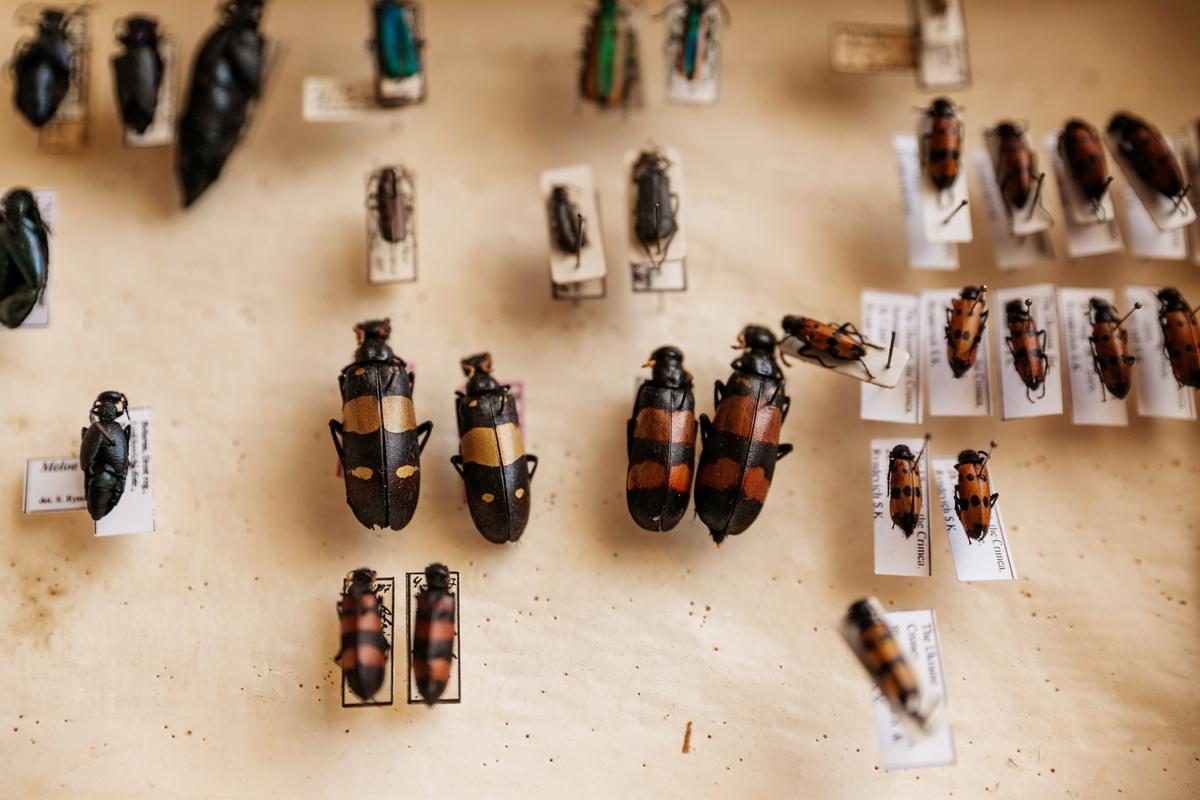 Часть коллекции жуков Сергея Константиновича, фото: Intex-press