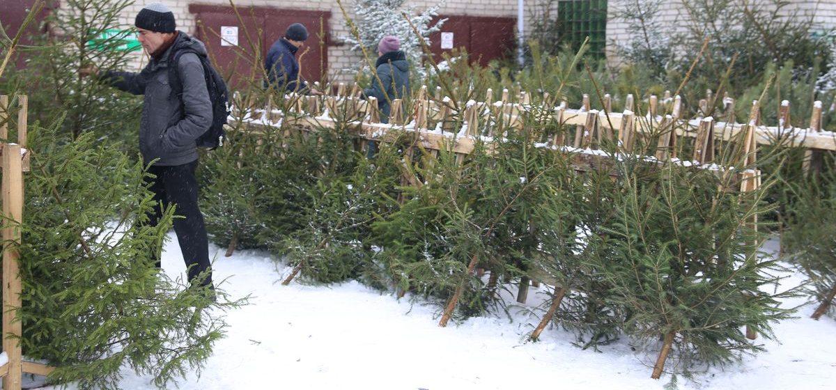 Когда в Барановичах начнут продавать елки и сколько они будут стоить