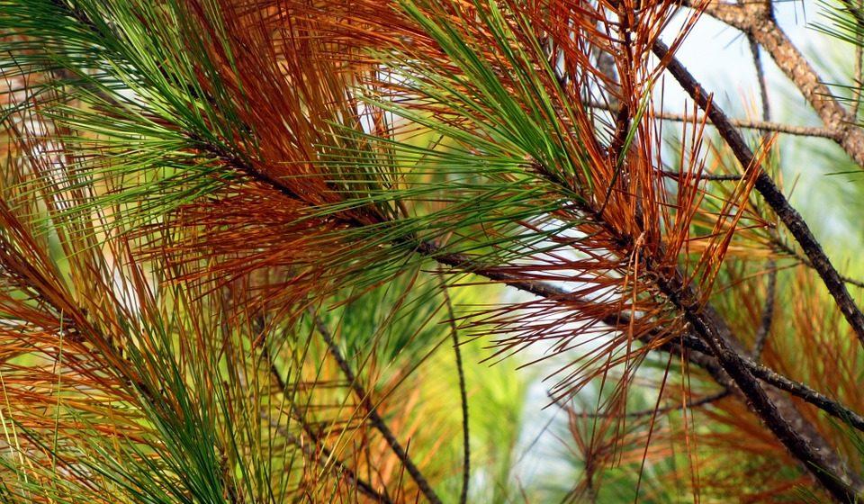 В Барановичском районе жук-короед повредил около 500 га леса