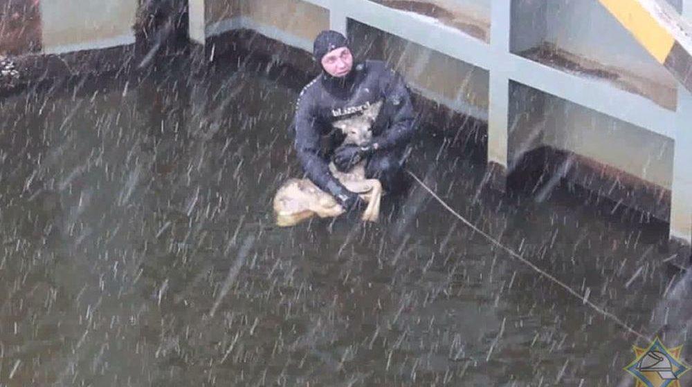Фотофакт. В Жабинковском районе сотрудники МЧС спасли косулю, которая провалилась в камеру шлюза пропуска судов