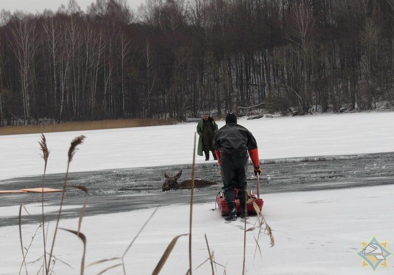 Спасатели вытащили из озера лося, который провалился под лед в Мядельском районе