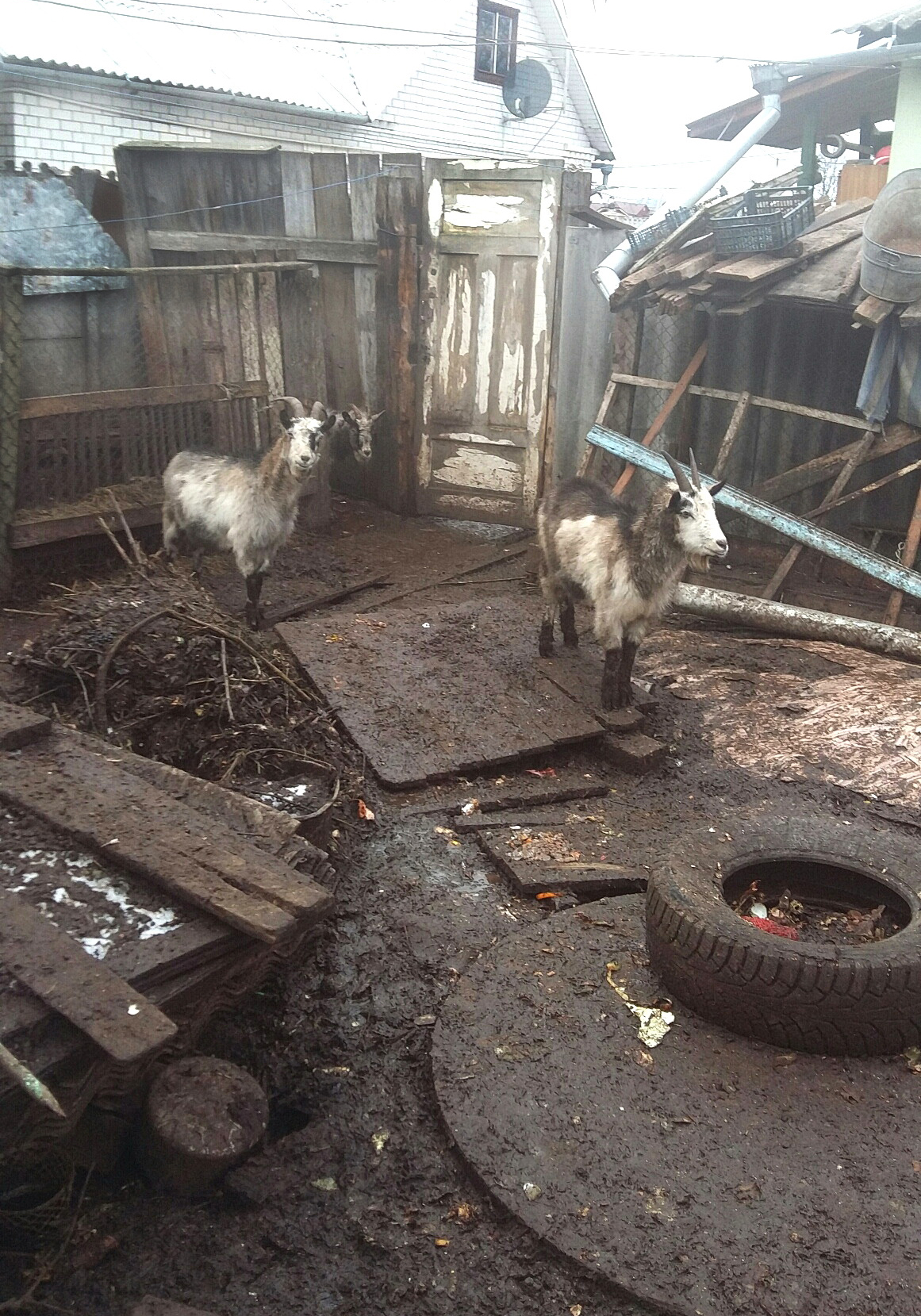 козы Барановичи