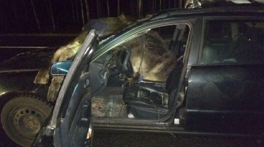 Жительница Барановичского района под Ивацевичами сбила двух лосей и попала в реанимацию