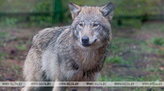 В Столбцах волк напал на людей. Есть пострадавшие