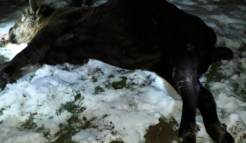 В Дятловском районе застрелили зубра. Возбуждено уголовное дело
