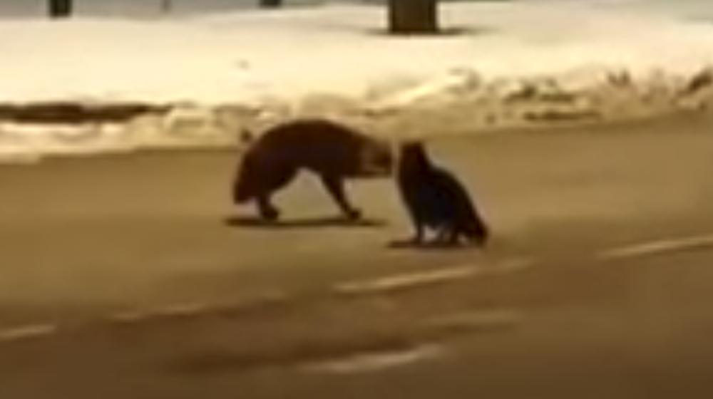 В сети набирает популярность «битва» российского кота и польской лисы за сосиску