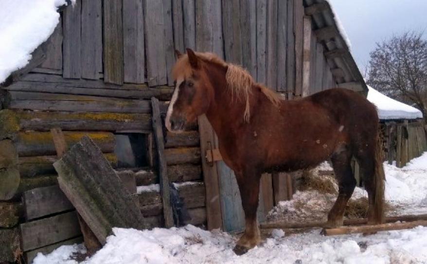 В Костюковичском районе «угнали» лошадь, подозреваемого задержали