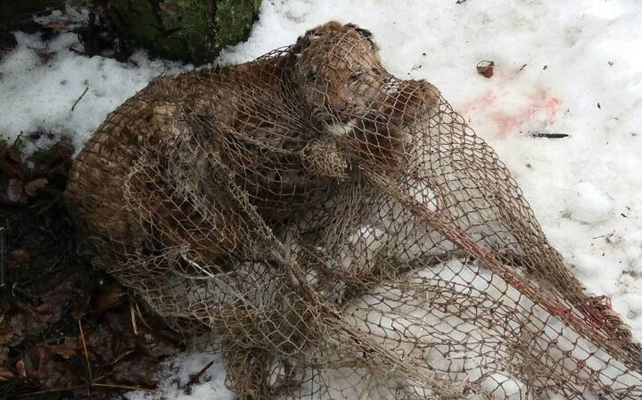 Виноваты глисты. Установлена причина смерти рысенка, пойманного в Барановичском районе
