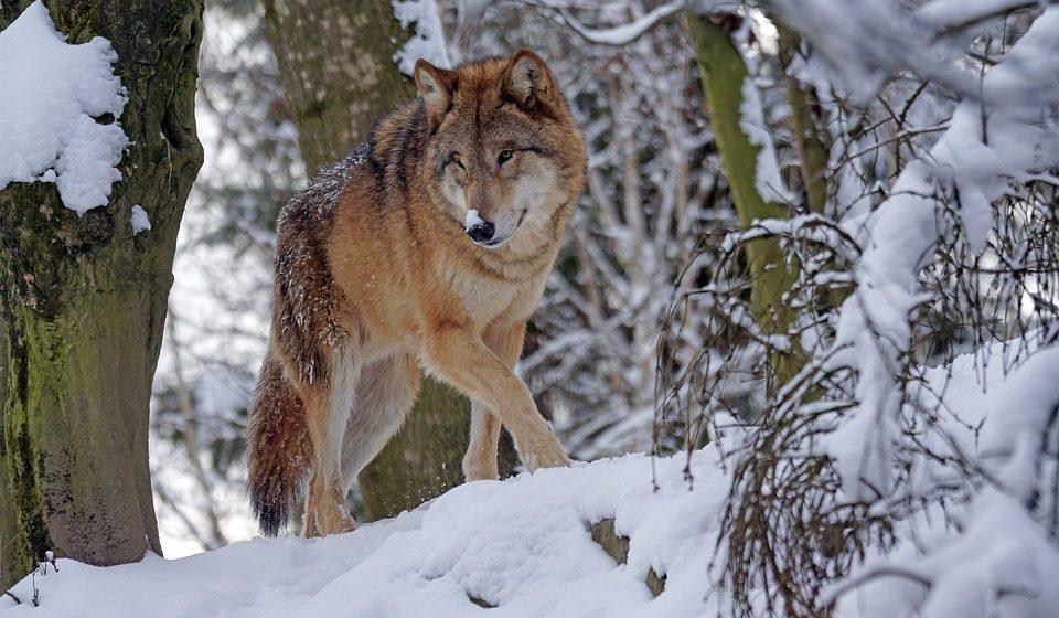 Волк, который покусал людей в Столбцах, оказался бешеным