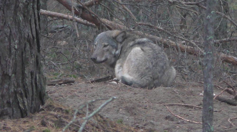 Волка, которому всей Беларусью выбирали имя, застрелили в Лельчицком районе