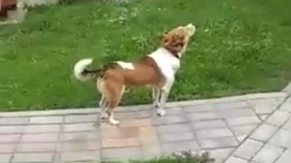 В Ляховичах живет собака, которая «подпевает» церковным колоколам (видеофакт)