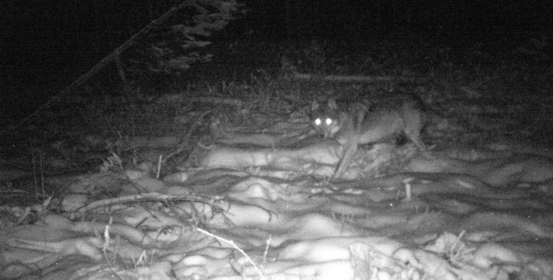 Последний снимок волка. Фото: the-village.me