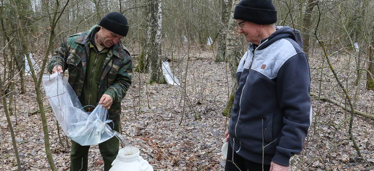 Как собирают березовый сок в Барановичском районе. Фоторепортаж