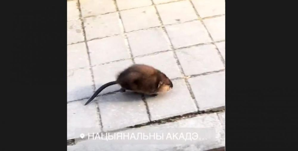 Необычное животное бегало по улицам Минска, а очевидцы сняли его на видео