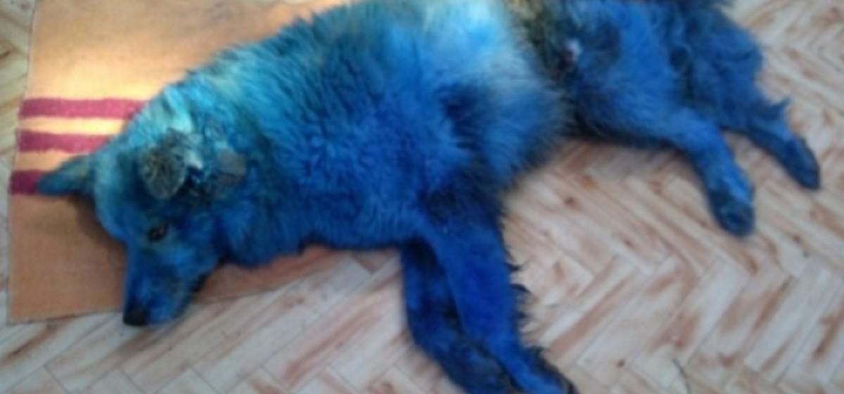 Покрашенная в синий цвет собака умерла после издевательств в Тверской области