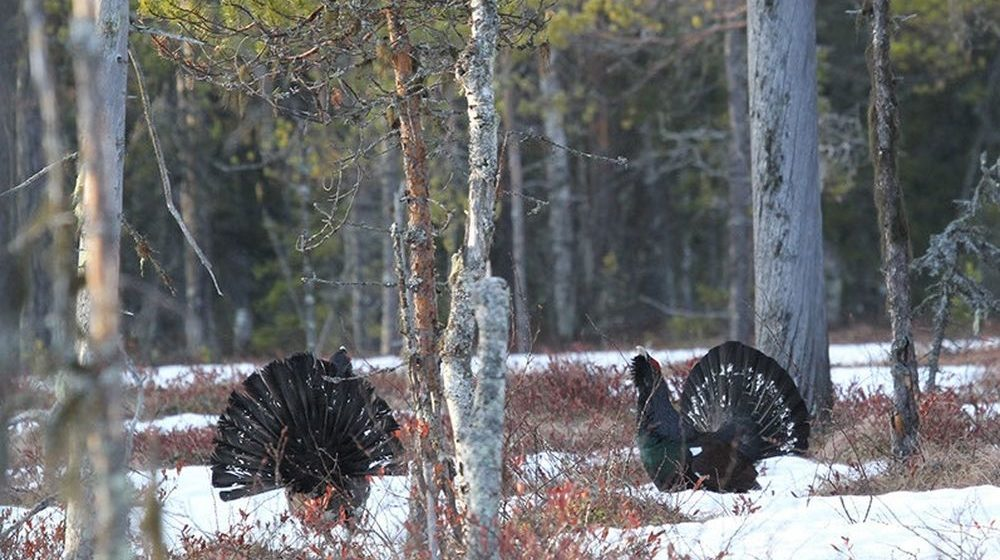 В Беларуси открывается сезон охоты на глухаря и тетерева
