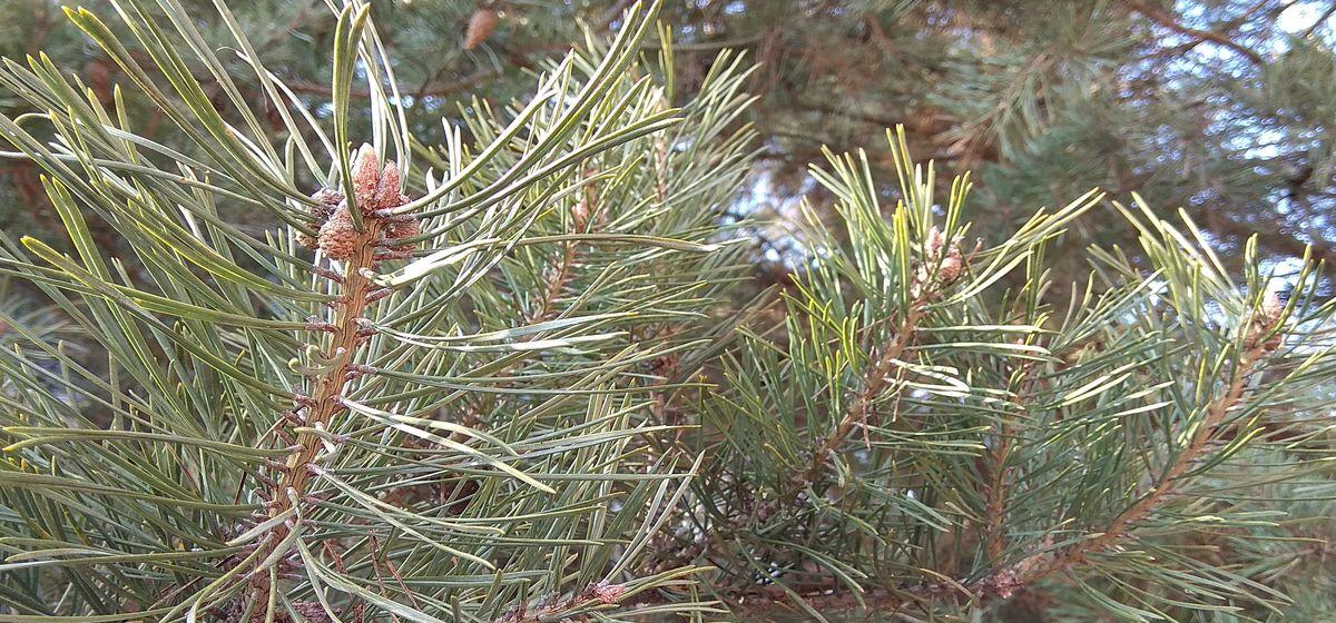 С начала года из-за жука-короеда в Барановичском регионе вырубили около 26 гектаров леса
