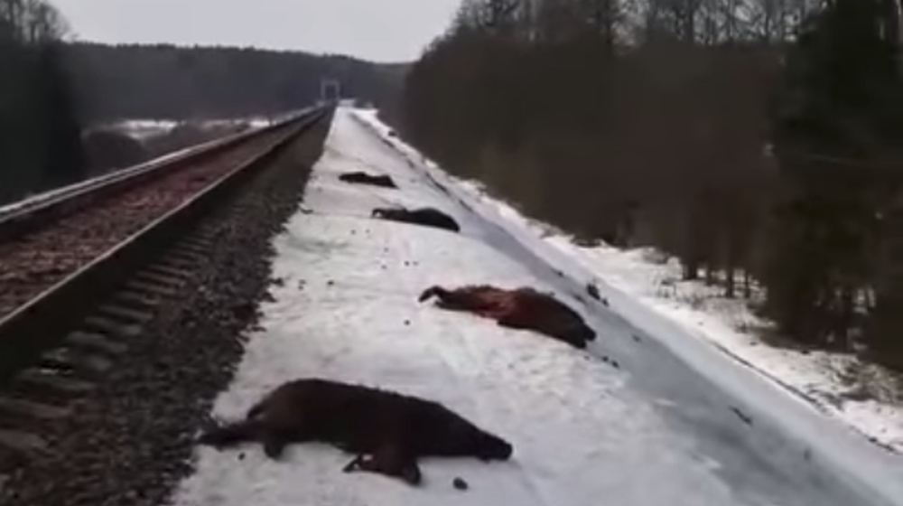 Стадо диких кабанов попало под поезд в Могилевском районе (видео)